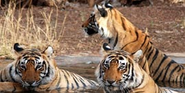 Golden Triangle - Ranthambore